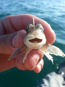 Smiling Grey Gurnard Face